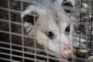 Opossum-Inside-of-Live-Animal-Trap