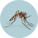 Aedes species mosquito